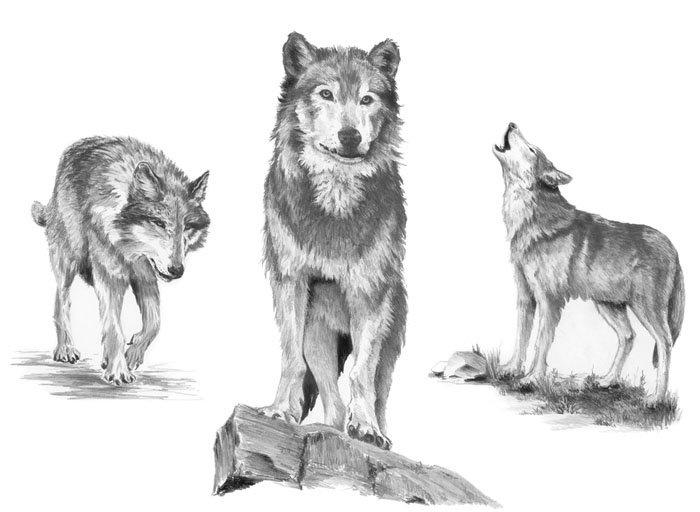 Malování SKICOVACÍMI TUŽKAMI - Vlci
