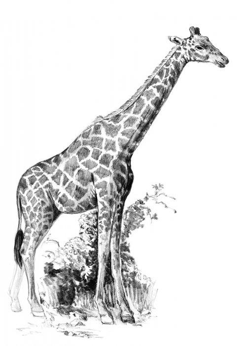 Malování SKICOVACÍMI TUŽKAMI-Žirafa