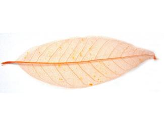 Listy magnolie, barevný - 10 ks, o velikosti 20 cm - oranžový