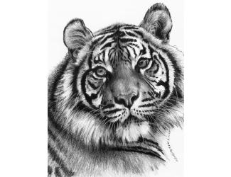 Malování SKICOVACÍMI TUŽKAMI - Tygr